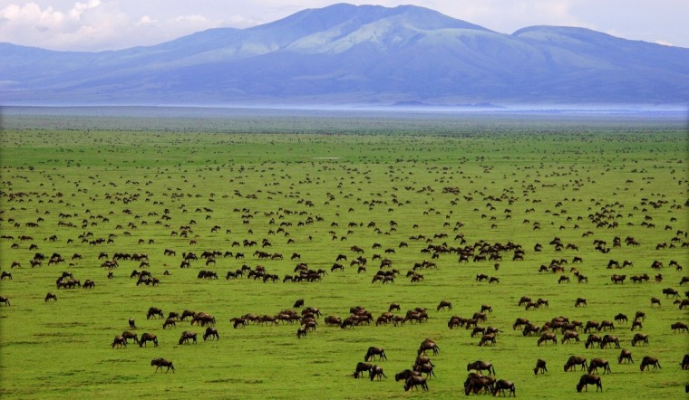 Serengeti plains Wildebeest