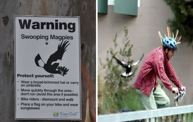 how to avoid magpies swooping