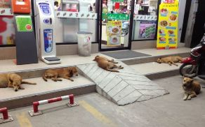 Stray dogs outside a 7Eleven in Thailand waiting for backpackers to feed them